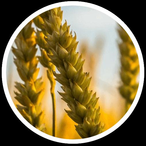 seguro para cultivos de invierno
